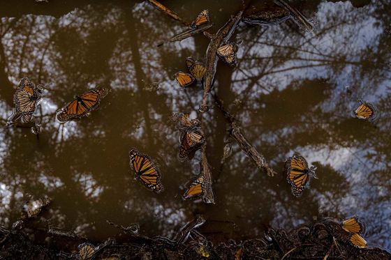 Did Avocado Cartels Kill the Butterfly King?
