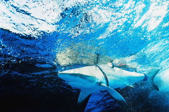 Protecting Sharks Starts With Knowing Where They Are