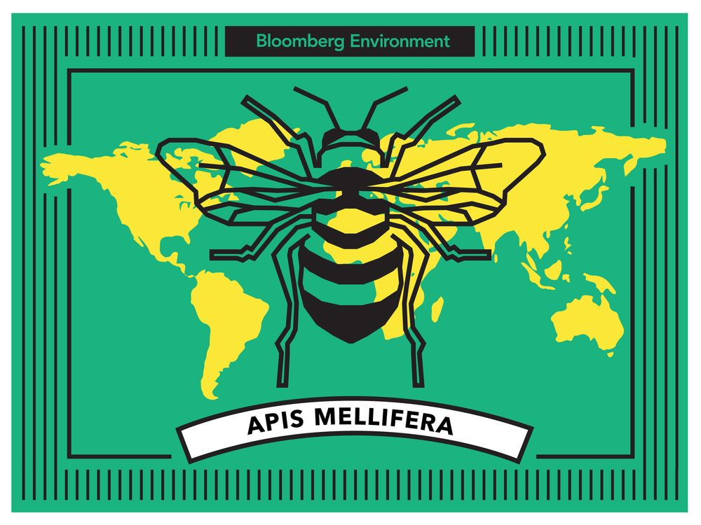 relates to How Apis Mellifera Became the Honey Industry's Favorite Bee