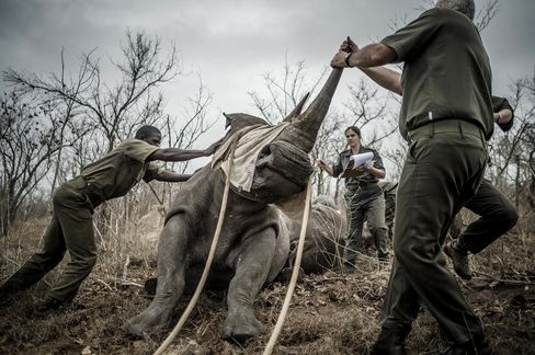 Staff members move rhinos from the Kruger National Park yesterday to curb rhino poaching.