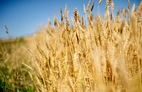 Scientists Unswayed by Monsanto's Conclusions on Rogue Wheat