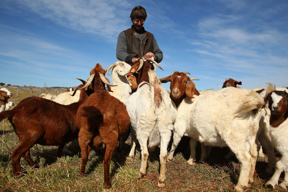 The U.S. Can't Get Enough of Australia's Goats