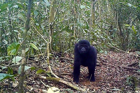 Cameroon Allows Logging in Forest That's Home to Gorillas