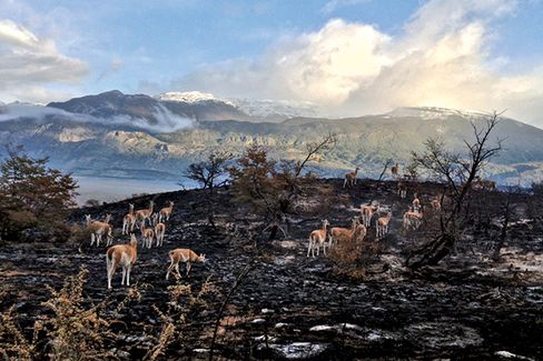 Guanacos after the wildfires in Valle Chacabuco