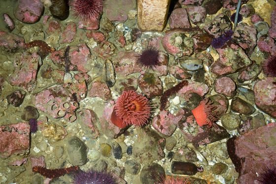 Scientists Are Breeding Sea Stars in a Lab to RehabilitateWarming Oceans