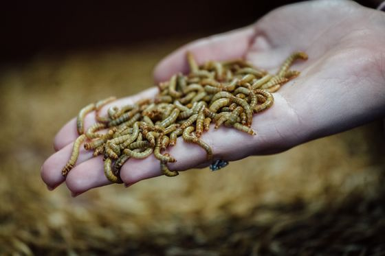 Bugs Head for European Menus After Mealworms Get Green Light