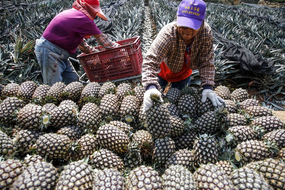Pineapple Harvest In Taiwan Amid Latest Trade Dispute With China