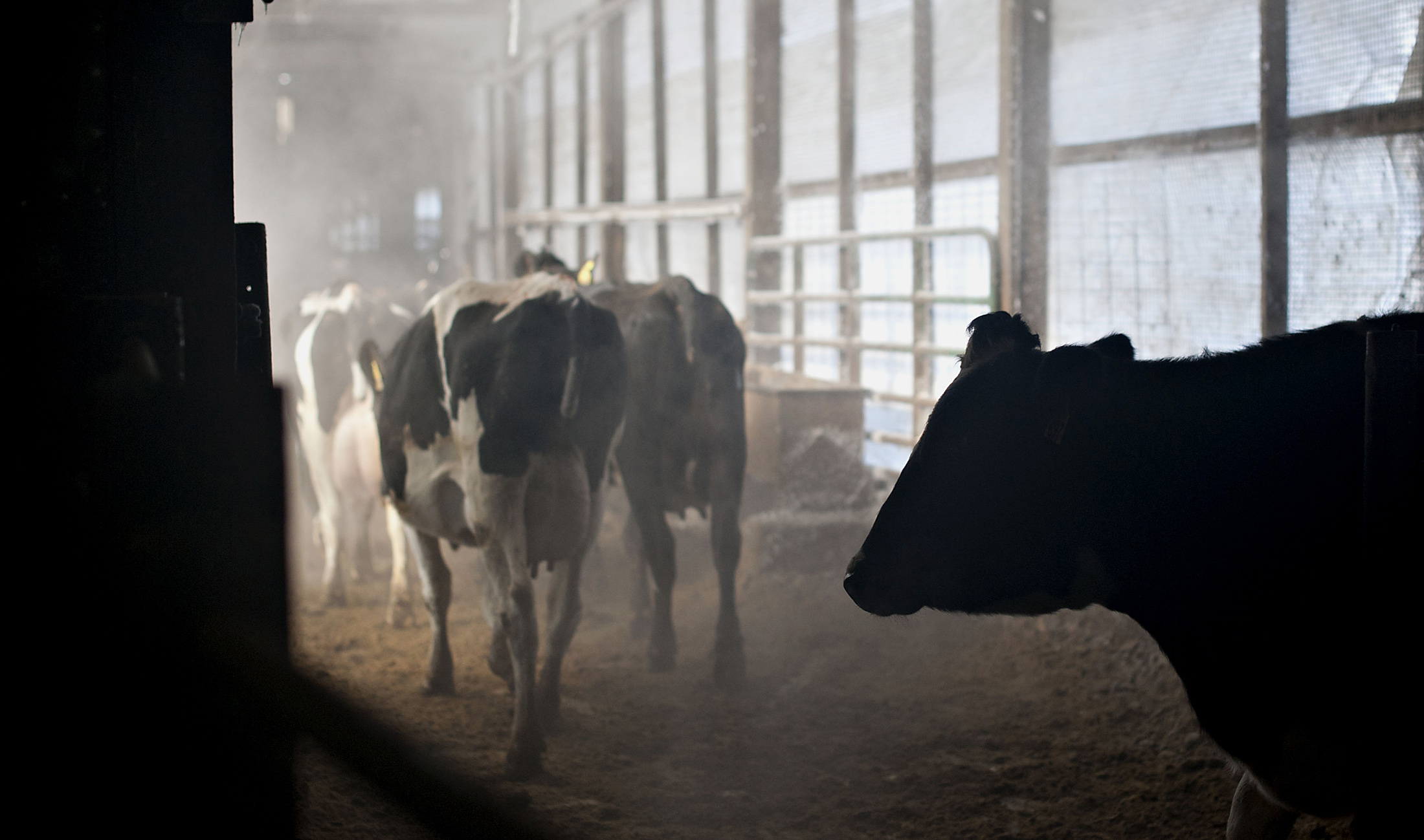 Killing Off American Cows to Keep Milk Prices High - Bloomberg