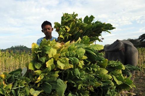Child Workers in Tobacco Fields Sickened by Nicotine and Pesticides