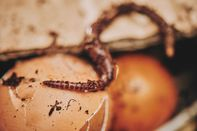 Close-up of a worm in the Urbalive Worm Farm kit.