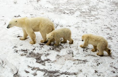 Polar Bear and Cubs in Manitoba, Canada