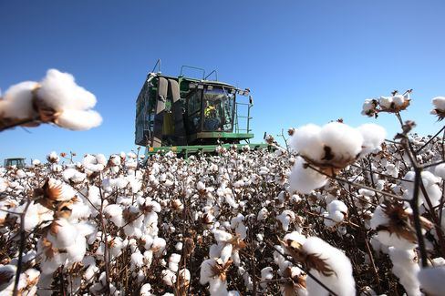 Cotton production probably will tumble 35 percent in the next season to the lowest on record