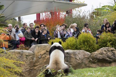 A giant panda at Beauval zoo