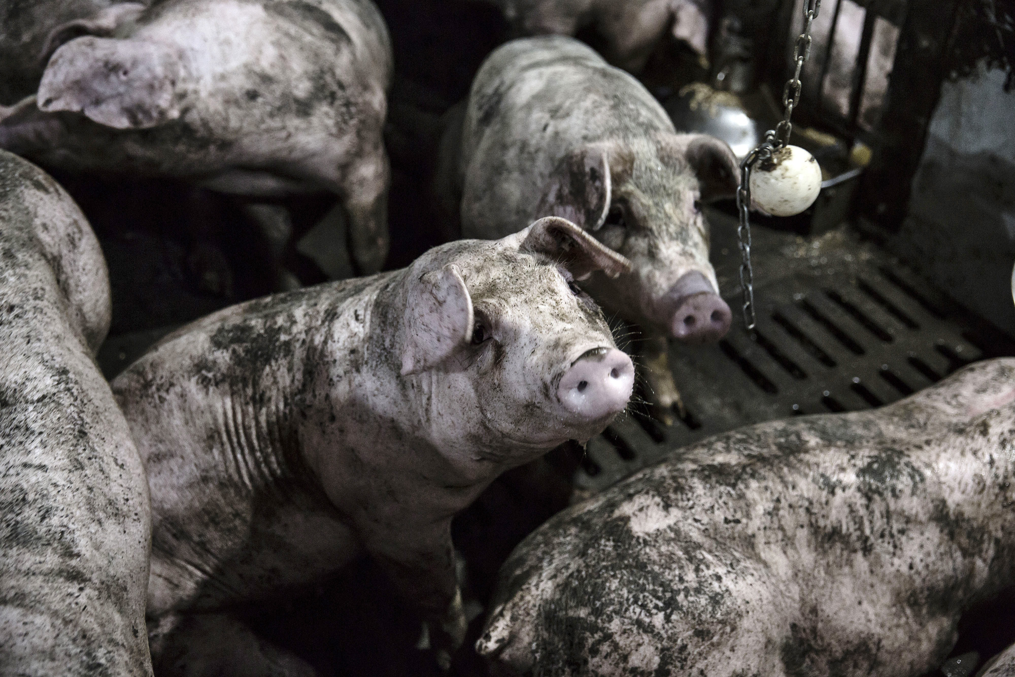 Vietnam May Declare State of Emergency for African Swine