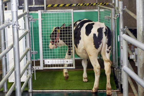 Scientists Are Toilet-Training Baby Cows to Cut Emissions