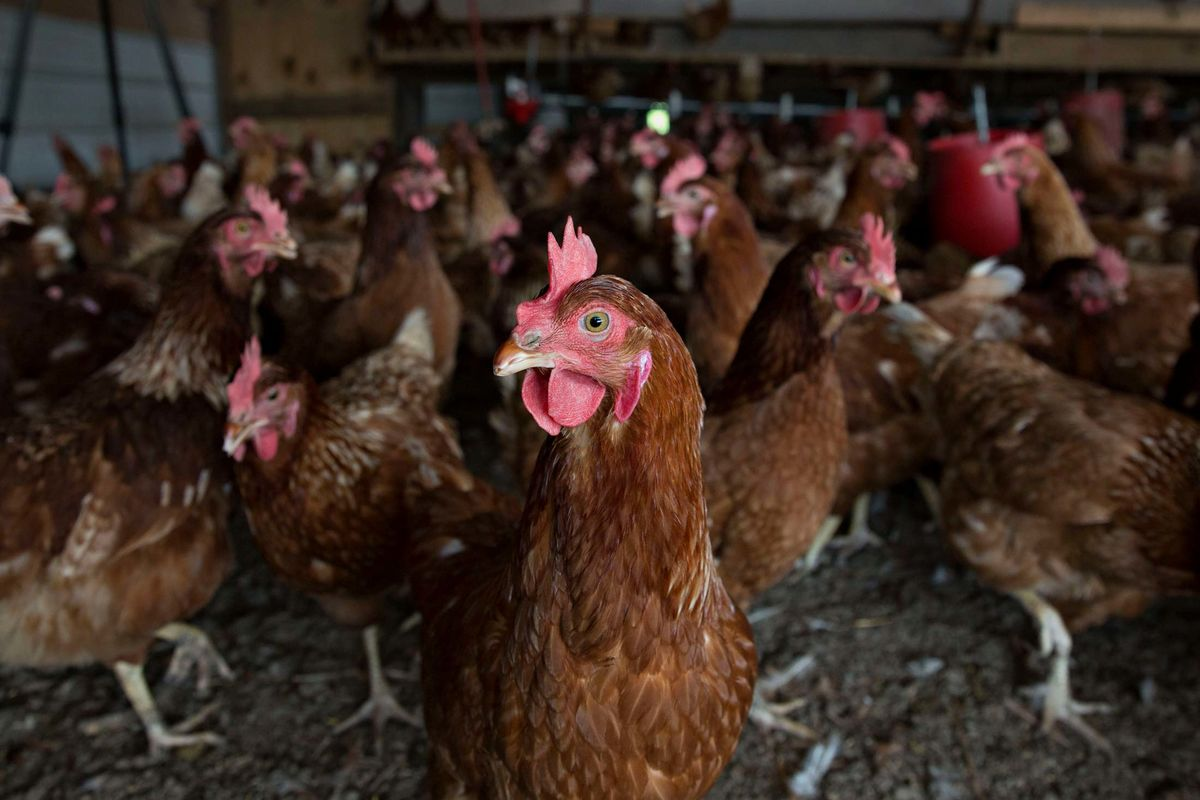 Is the Chicken Industry Rigged? - Bloomberg