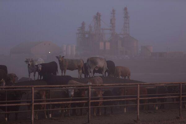 texas cattle methan