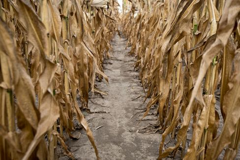 Corn Seen Rallying to Record $8.50 as Drought Kills Crops