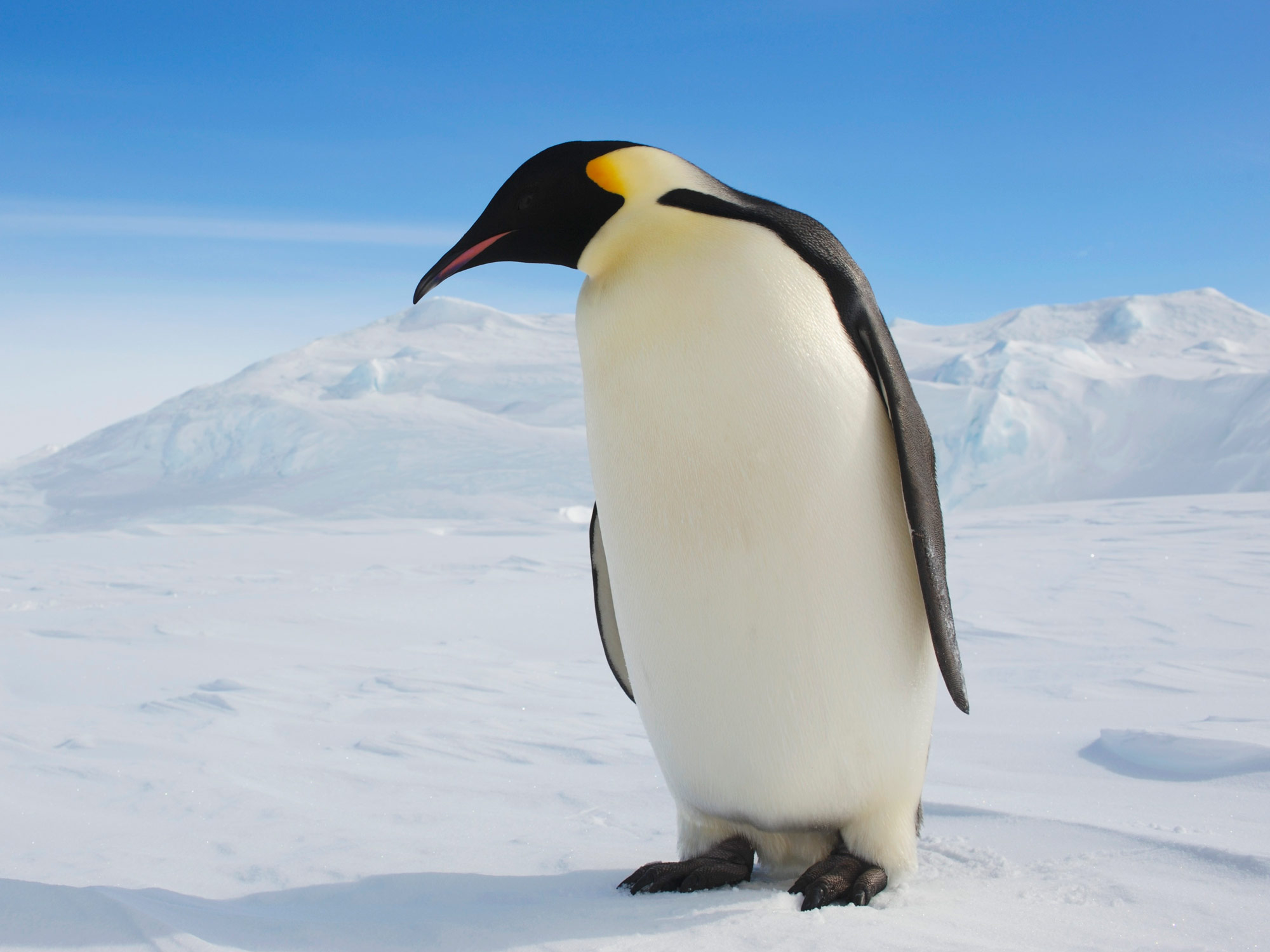 Major Emperor Penguin Breeding Ground Gone Barren Since 2016 - Bloomberg