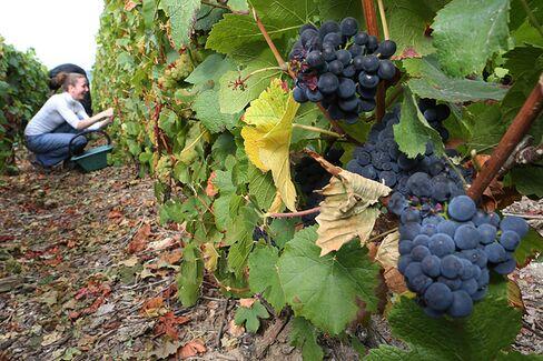 France's Champagne Harvest Shrinks Drastically