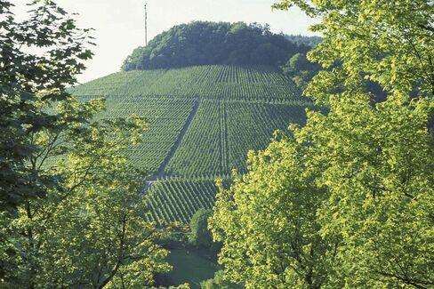 The Riesling vines of the Saarburger Rausch vineyard in the Saar Valley.