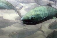 Fish Salmon GETTY sub