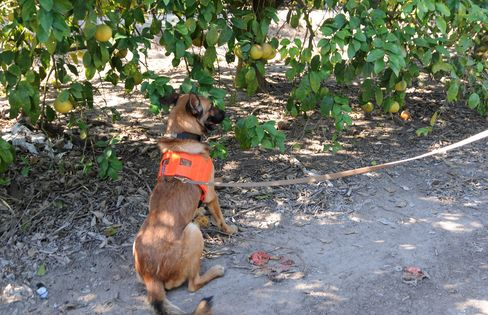 A member of the ten-dog squad that is becoming a crucial ally in stopping the spread of citrus greening.