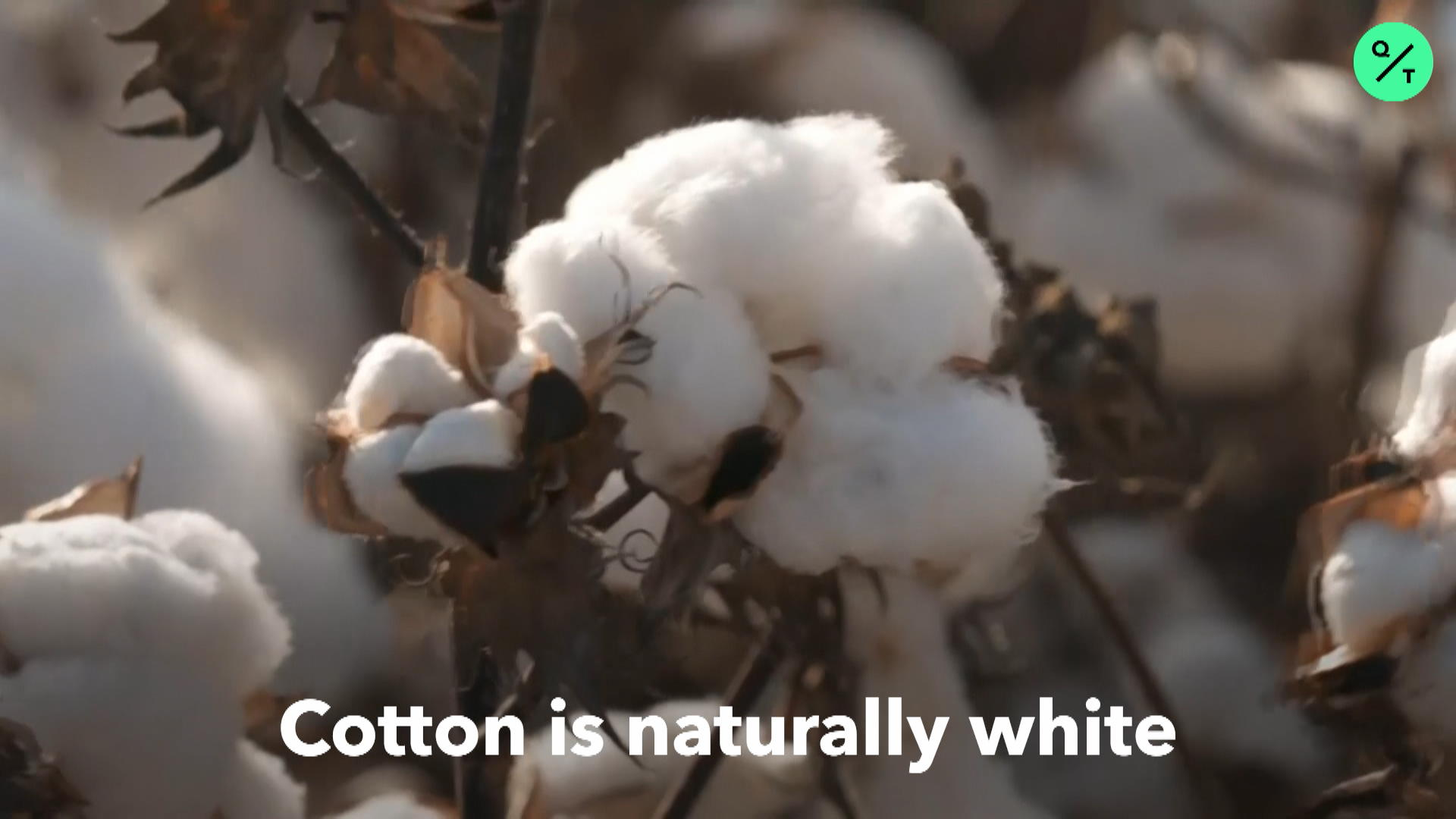 Scientists Grow Colored Cotton