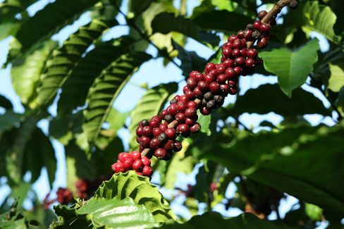 Coffee Harvest in Vietnam to Tumble From Record on Dry Weather