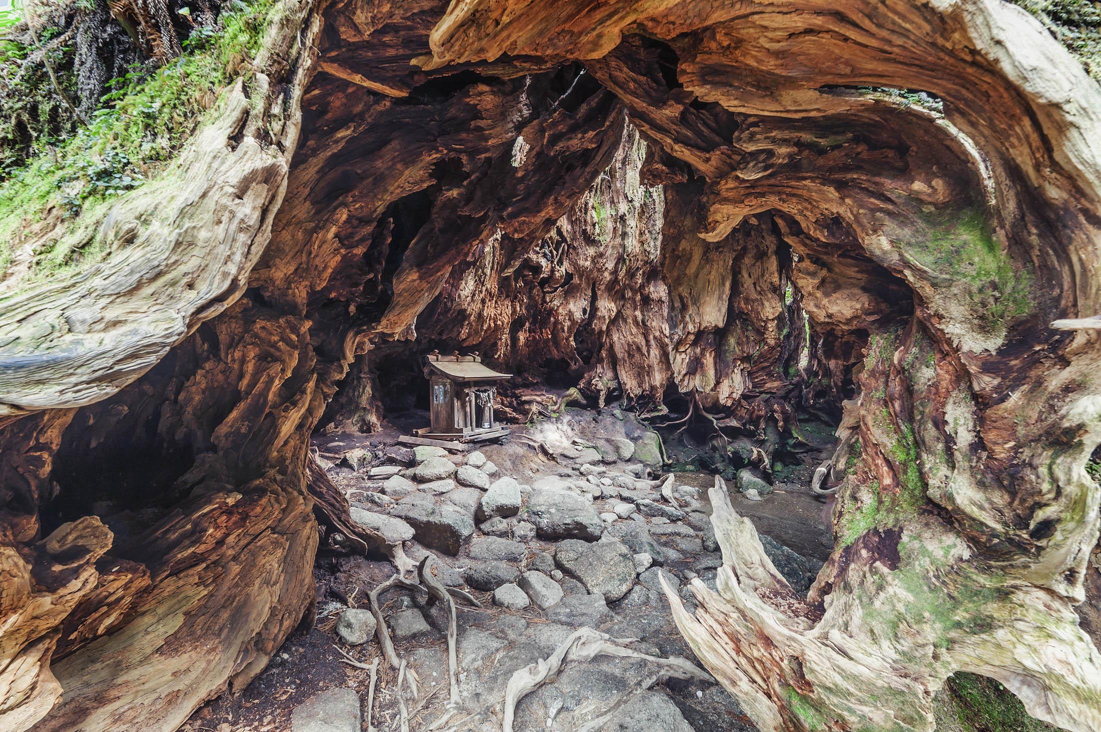 Wilson's Stump, Yakushima