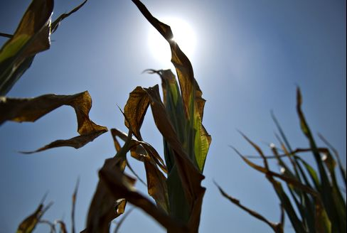 Europe Heat Wave Wilting Corn Adds to U.S. Drought