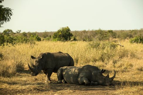 Rhinos are seen in South Africa