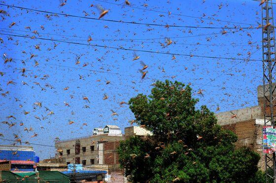 Locusts Pose a Bigger Economic Threat to Pakistan Than the Virus