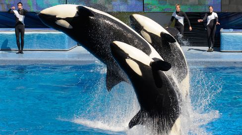 Trainers work with killer whales Trua, front, Kayla, center, and Nalani during the Believe show in Shamu Stadium at the SeaWorld Orlando theme park in Florida on March 7, 2011.
