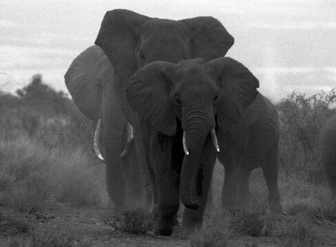 Three Bull Elephants