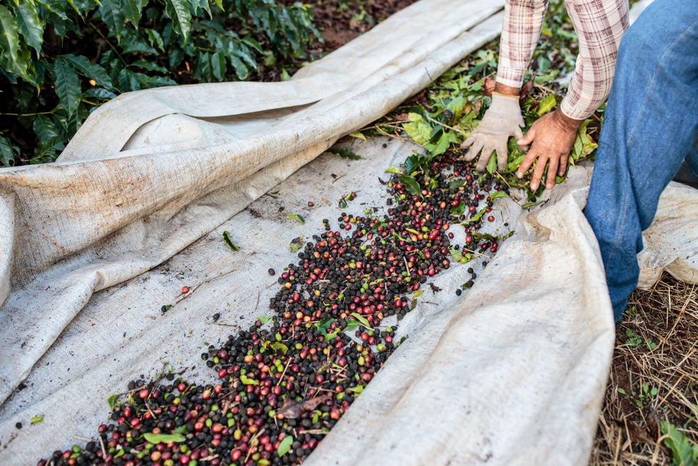 Deep in Brazil's Mountains, a Coffee Boom Ready to Take Hold