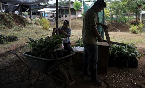 COSTA RICA-AGRICULTURE-CACAO