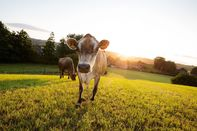 Mootral cow