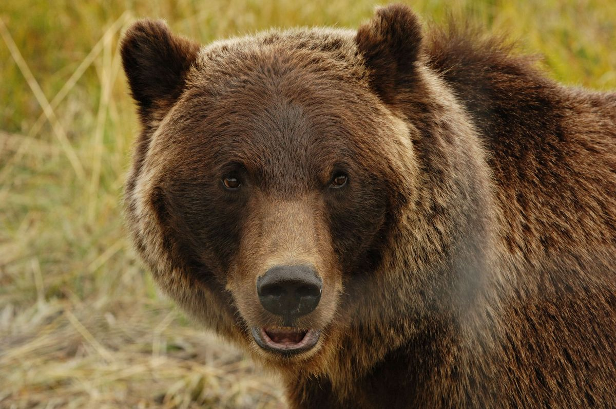 Grizzly Bear Hunting Season Could Soon Return to Wyoming