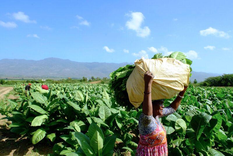 The Quesada Tobacco Plantation In Santa Cruz De Mao Dominican Republic