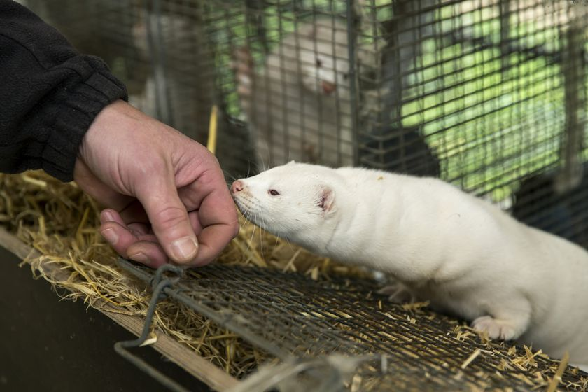 Disaster In Denmark As Covid-19 Mutation Detected On Mink Farms