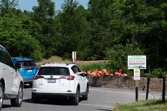 Drive-Through Zoo Swaps One Cage for Another