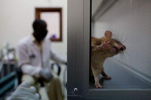Rat Kidneys Regenerated in Lab May Offer Human Transplant Path