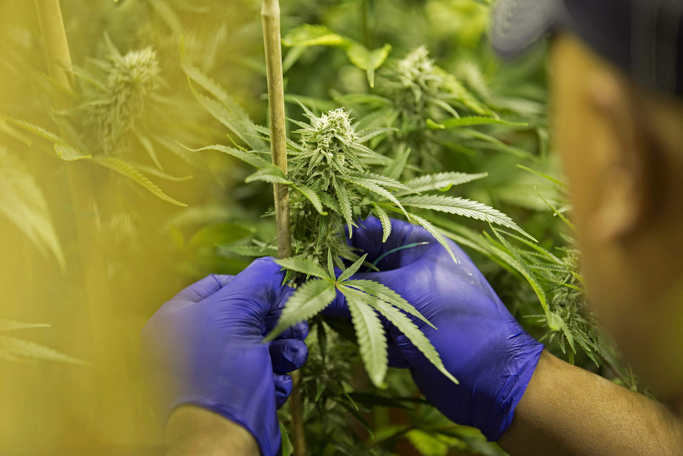 & WEED:Toronto Stock Quote - Canopy Growth Corp - Bloomberg Markets