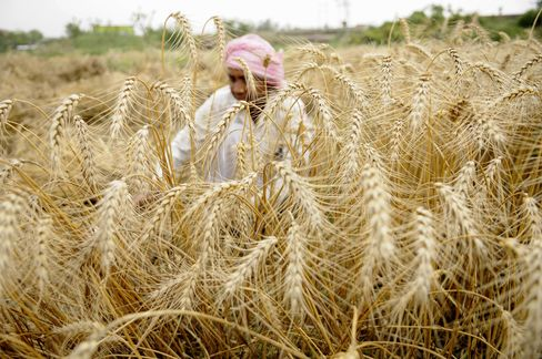Indian Farmers Harvesting Partially Damaged Wheat Crop