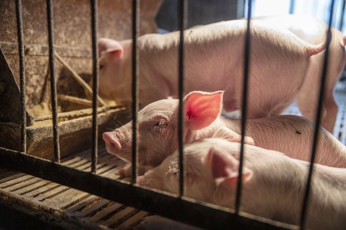 A Deadly Pig Disease Is Reshaping Global Soybean Markets