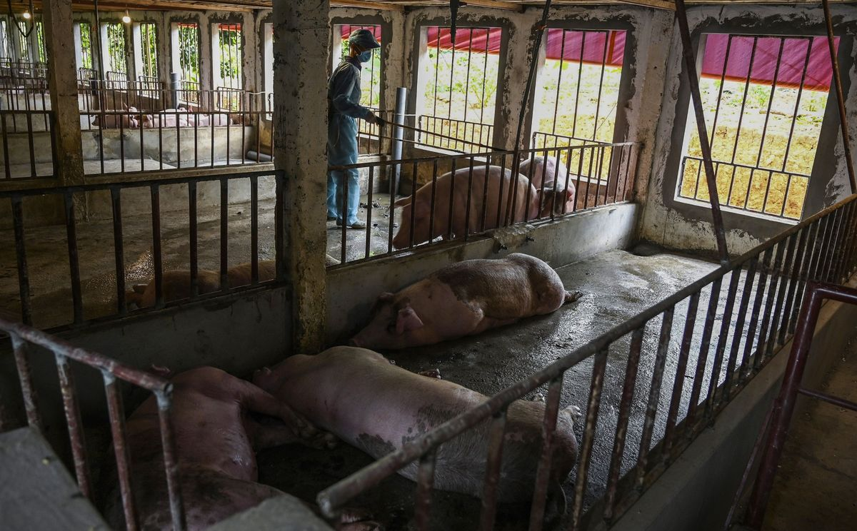 A health official inspects a farm with dead pigs in Hanoi, May 2019.