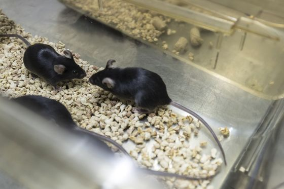 China's Selling Genetically-Modified Mice for $17,000 a Pair