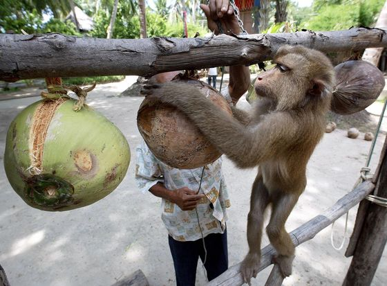 'Slave Monkey' Scandal Forces Thailand to Rethink Coconut Trade