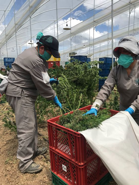 Cocaine Country Is EmbracingCannabis Exports
